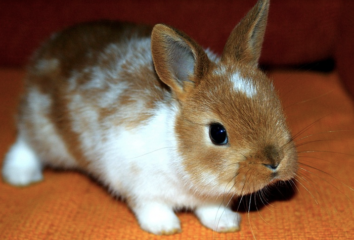Rabbits were likely domesticated over a period of time, rather than at once in a sudden event. / Image credit: Pixabay