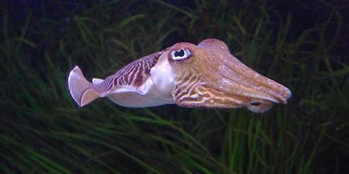 Cuttlefish / Credit: David Sim/Wikimedia Commons