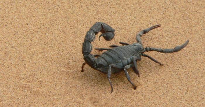 A black scorpion / Credit: Pixabay