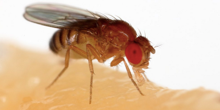 The fruit fly has been used extensively genetics research. / Image credit: Wikimedia Commons/Sanjay Acharya