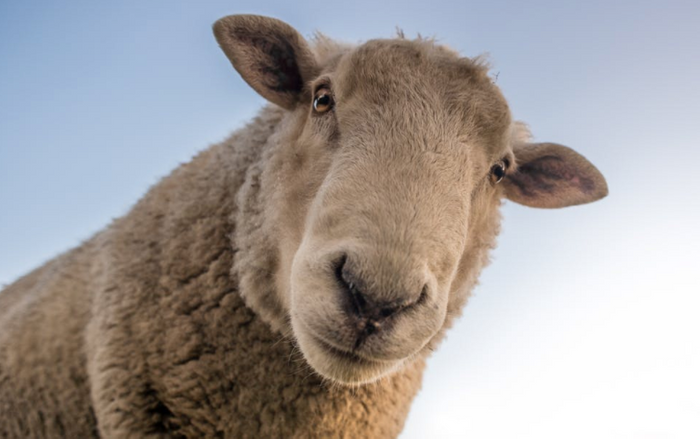 Sheep could act as a kind of incubator for human organs one day. / Image credit: Pexels