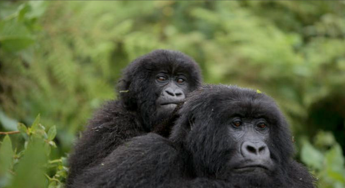 The mountain gorilla was in some pretty hot water recently, but conservationists have helped their numbers rebound.