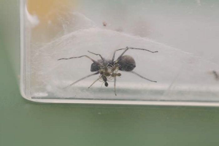 A mother spider is seen here nourishing her younglings with 'spider milk.'