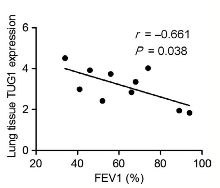 Higher TUG1 expression is seen to be correlated with a lower FEV1 value, indicating TUG1 higher expression associated with a common determiner of COPD