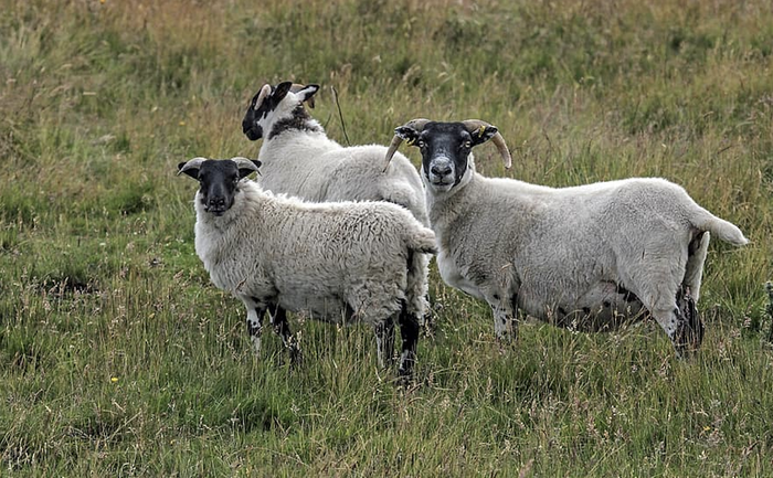 Scottish Blackface Sheep, like those used in the study / Image credit: Pikist