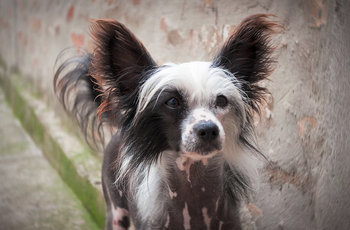 Chinese crested dogs are among the least fearful / Image credit: Piqsels