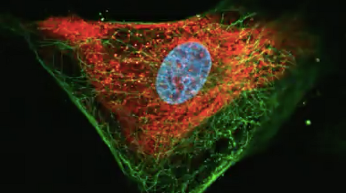 Imunofluorescence image of brain tumor tissue from a dachshund dog after intrathecal injections of Zika virus. The presence of the virus [red] infecting tumor cells [blue] with intense necrosis is observed at the edges of the tumor./ Credit: Carolini Kaid, CEGH-CEL