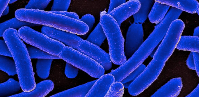 Cropped from a digitally-colorized SEM of Escherichia coli bacteria grown in culture and attached to a coverslip. / Credit: National Institute of Allergy and Infectious Diseases (NIAID)