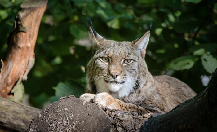 Lynx / Image credit: Public domain images