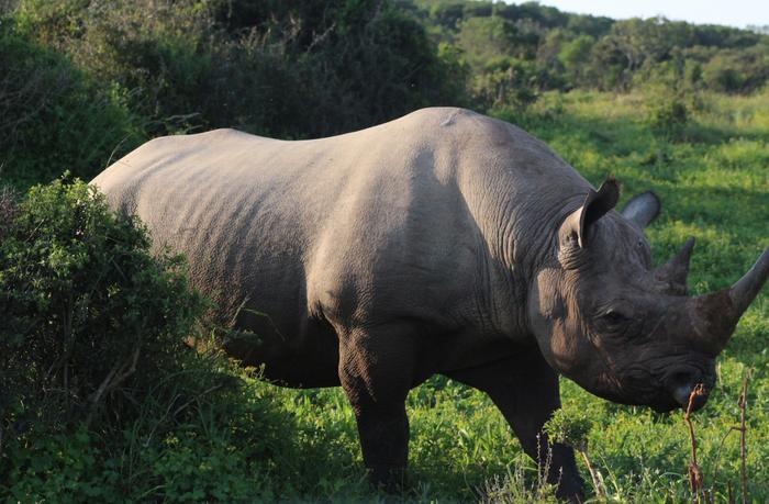 A southern white rhino / Credit: © Carmen Leitch