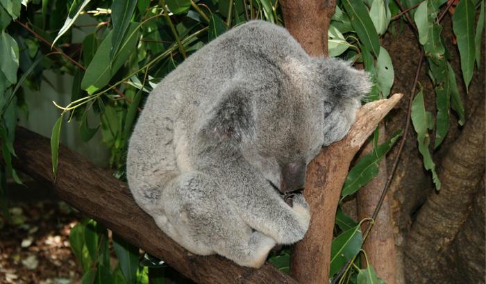 Koala in a Brisbane-area sanctuary / Credit: ©Carmen Leitch