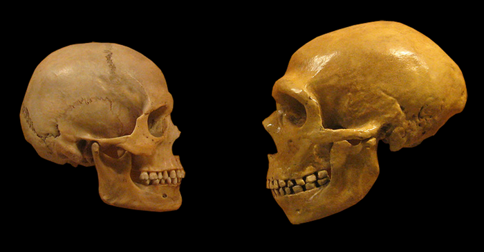 Comparison of Modern Human and Neanderthal skulls from the Cleveland Museum of Natural History. / Credits: hairymuseummatt (original photo), DrMikeBaxter (derivative work)