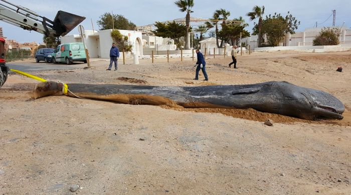 The deceased sperm whale is pictured here.