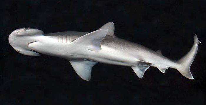 Bonnethead shark. Photo by D. Ross Robertson