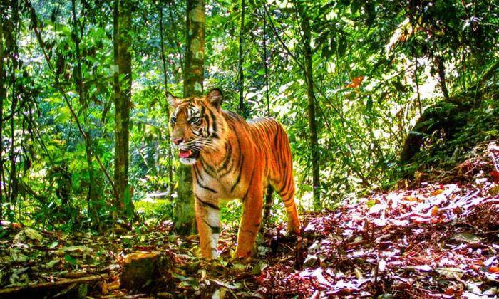 A Sumatran tiger in its natural habitat.