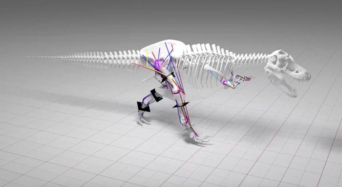 A computer model illustrating a T. Rex's multibody dynamic analysis (MBDA) and skeletal stress analysis (SSA) helped researchers determine their maximum walking speed.
