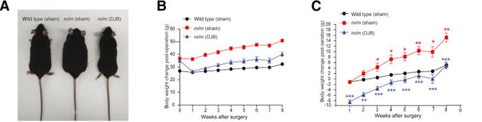 Body weight and metabolism phenotypes of male T2DM model mice decrease after DJB surgery. A: Body weight of 10-week-old male severely obese T2DM mice decreases 8 weeks after surgery. B: Weekly body weights for each of the sham and DJB mice. C: Relative body weight changes in the sham group and DJB group after DJB surgery. /Credit: American Journal of Pathology Jiang et al