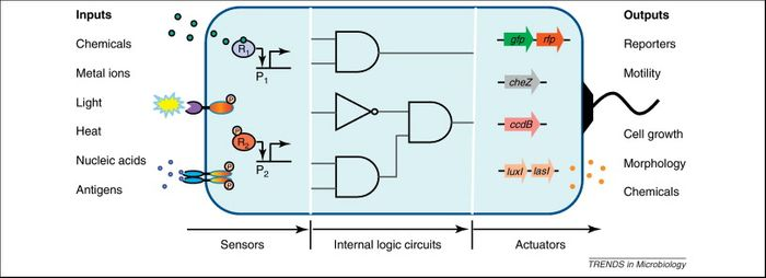 Genetically engineered cells typically comprises a cascade of three exchangeable modules, that is, the sensors that detect surrounding chemicals, light, pH, heat, etc., plus internal information processing circuits for integrating the various input signals and making a logic decision, and lastly, output actuators for producing reporters, toxins, chemicals, drugs, growth changes, etc.