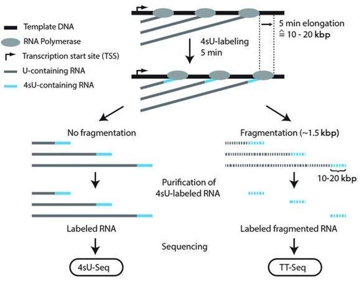 An overview of 4sU-seq and TT-seq protocols