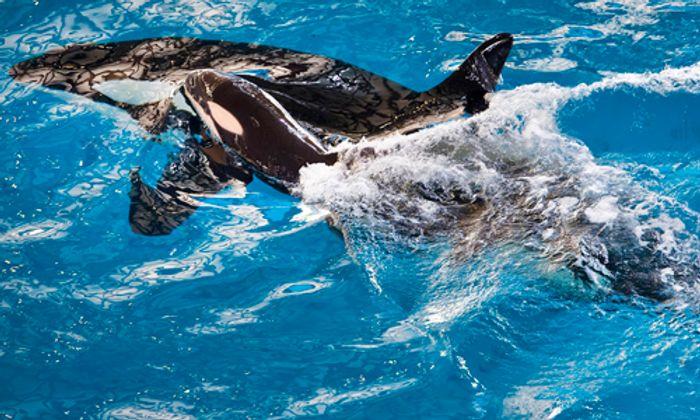 Takara swimming with her newborn calf.