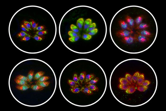 The localization of six previously uncharacterized proteins essential for the survival of the parasite in human cells and conserved through the Apicomplexan phylum, within a parasitophorous vacuole containing eight parasites inside of a host cell. / Credit: Diego Huet/Whitehead Institute