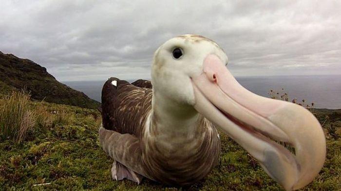 Pictured is the Tristan albatross.