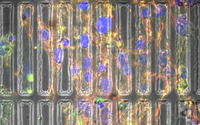 Programming induced pluripotent stem cells into heart muscle cells requires biochemical and biomechanical cues. Growing the cells in a three-dimensional substrate that mimics the natural heart environment produces better cells. Credit: Parisa Pour Shahid Saeed Abadi/Michigan Tech