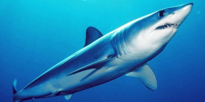 The shortfin mako shark is being overfished, and the act has slipped under the radar for too long.