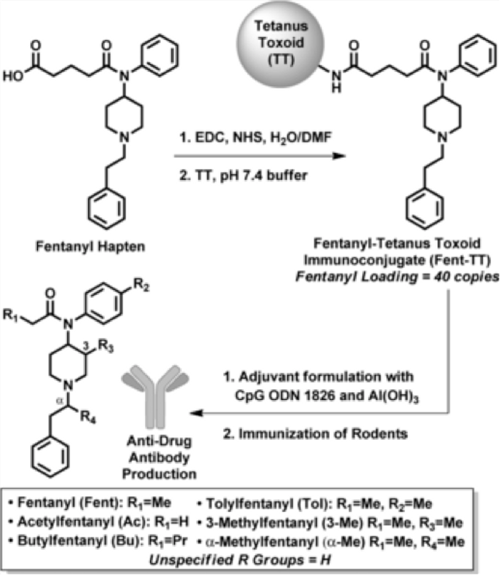 Vaccine formation and fentanyl structure. For full explanation, see figure 1 in Bremer et al. Angewandte Chemie 2016.