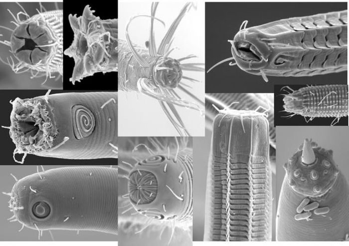Scanning electron microscopy of marine nematodes. UCR's Holly Bik is one of the few researchers studying the microbiomes of invertebrate animals. / Credit: James Baldwin and Manuel Mundo-Ocampo, UC Riverside