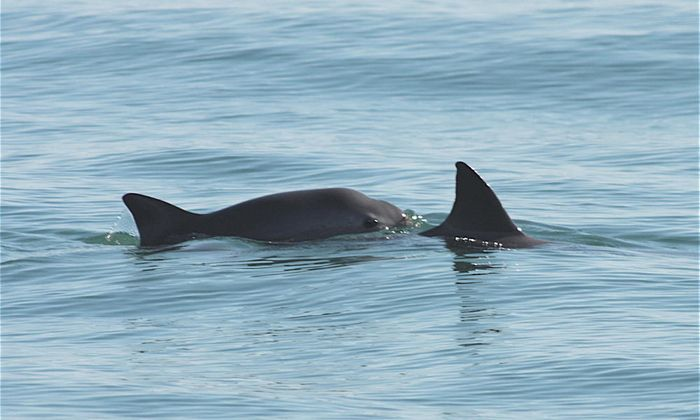 A Vaquita spotted and photographed in the wild.