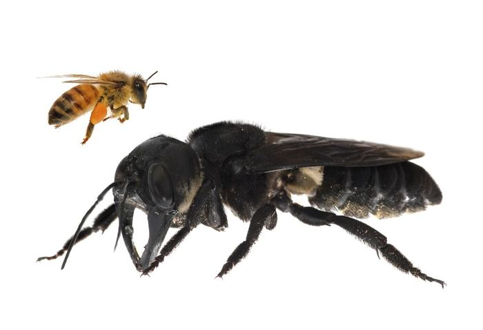 A comparison in size between Wallace's giant bee and a standard bee.