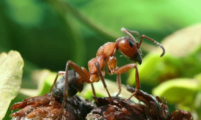 Researchers used the compound eyes wood ants, which have facets of different diameters in different regions of the eyes that change in size in response to body growth.