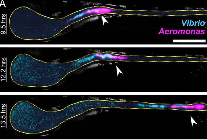 MIPs of Aeromonas (magenta) and Vibrio (cyan) in a larval zebrafish intestine. Scale bar: 200 ?m. The fish was initially colonized at 4 dpf with Aeromonas, challenged 24 hr later by inoculation with Vibrio, and then imaged every 20 min for 14 hr. The times indicated denote hours post-challenge. In all images, the region shown spans about 80% of the intestine, with the anterior on the left. Image contrast in both color channels is enhanced for clarity. Yellow dotted line roughly indicates the lumenal boundary. As time progresses, the anterior growth of Vibrio as well as abrupt changes in the Aeromonas distribution (arrows) are evident. / Credit: PLOS Biology Wiles et al