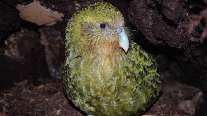 A kakapo parrot.