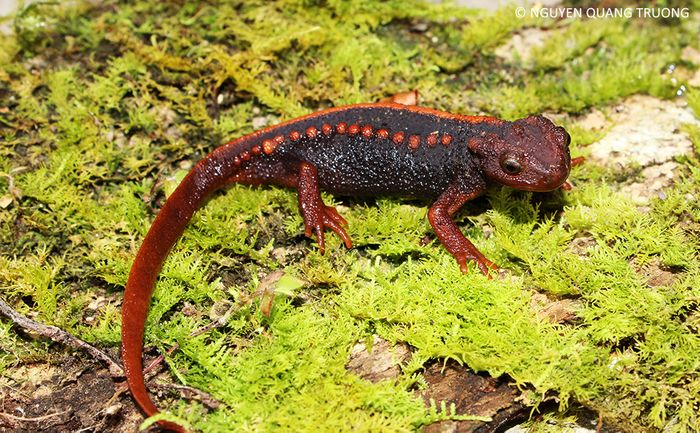 The Klinon Newt was among the 163 newly discovered species.