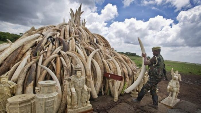 As a part of a huge political statement against elephant poaching, Kenya will incinerate several tons of ivory.