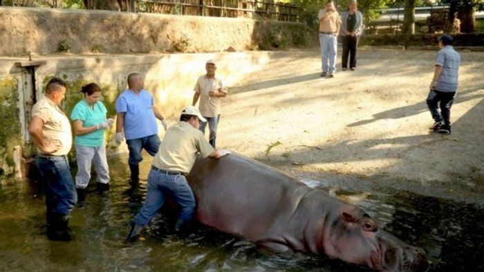 A 15-year-old hippo from a zoo in El Salvador has passed away, and authorities are investigating a zoo for possible poor treatment.