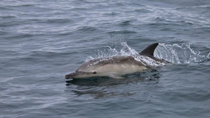 Scotland is seeing impressive record numbers of dolphins in the region.