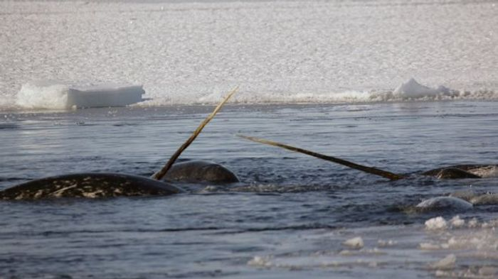 """Narwhals are considered """"unicorns of the sea,"""" and it's not hard to see why."""