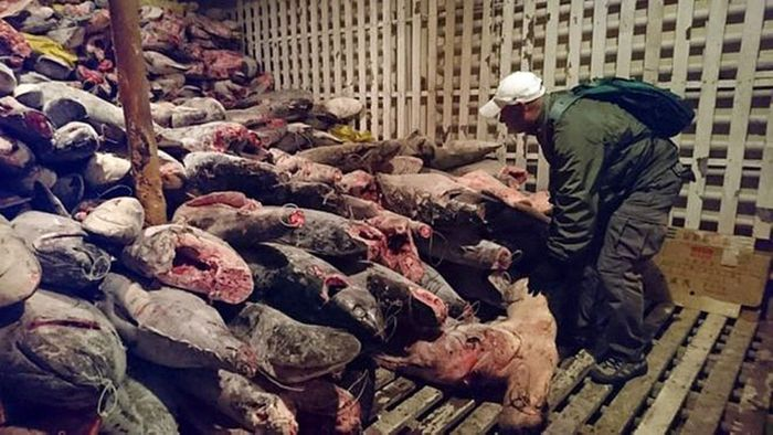 Over 6,600 shark carcasses were found on the boat. Photo: South China Morning Post