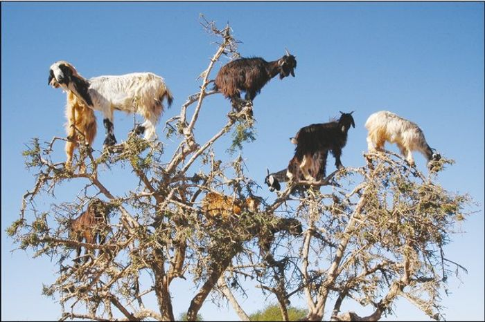 Meet the curious Moroccan goats that climb trees.