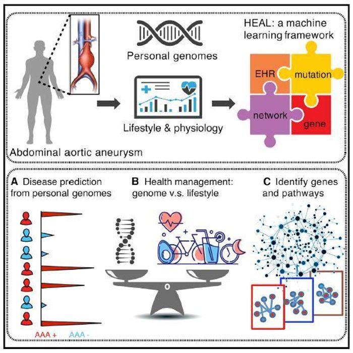 This graphical abstract illustrates how a machine-learning approach integrating personal genomes and electronic health records can predict clinical outcomes associated with abdominal aortic aneurysm and can model the effectiveness of adjusting personal lifestyles based on a given individual's genome. / Credit: Li et al./Cell