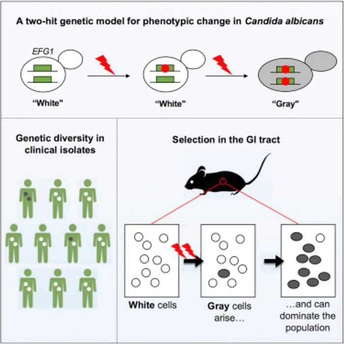 Graphical abstract /Credit: Liang et al Cell Host & Microbe 2019