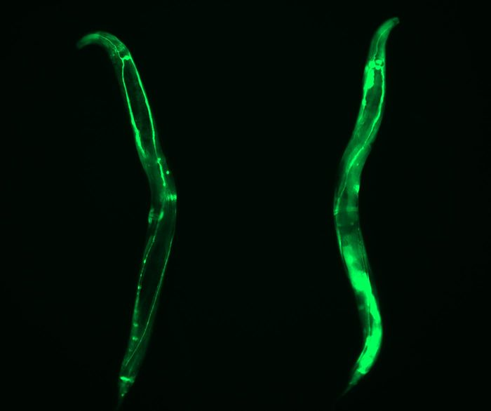 Long-lived germline-lacking C. elegans exhibit up-regulation of CCT expression in somatic tissues. Representative image of GFP expressed under control of the cct-8 promoter in adult wild-type and germline-lacking (glp-1(e2141)) worms. DAPI. / Credit: Alireza Noormohammadi and Amirabbas Khodakarami
