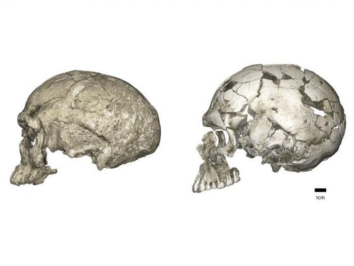 Evolutionary changes of braincase shape from an elongated to a globular shape. The latter evolves within the Homo sapiens lineage via an expansion of the cerebellum and bulging of the parietal. Left: micro-CT scan of Jebel Irhoud 1 (~300 ka, Africa); Right: Qafzeh 9 (~95 ka, the Levant). / Credit: Philipp Gunz, Max Planck Institute for Evolutionary Anthropology