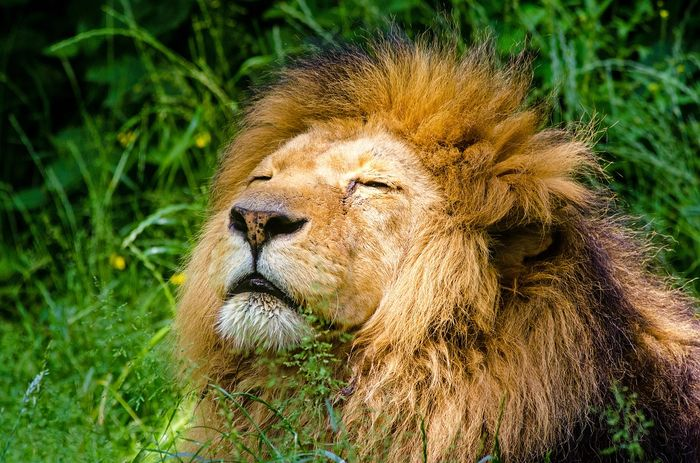 A content African lion.