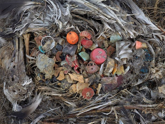 The debris inside an albatross's stomach. Photo: Plastic Pollution Coalition