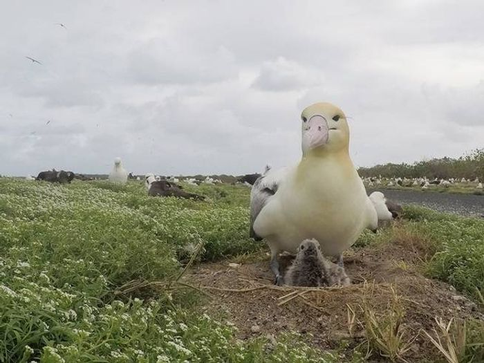 The short-tailed albatross and her unlikely hatchling.