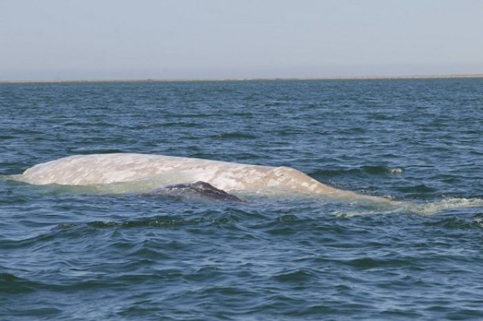 An albino gray whale known as 'Gallon of Milk' was spotted with her calf for the first time in many years.